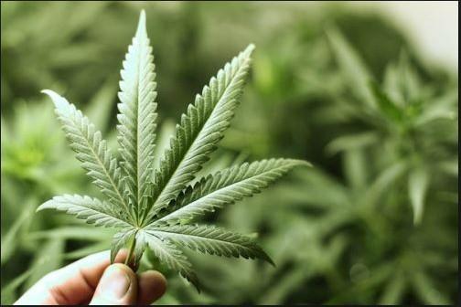 Kannabisviljelmä Maalahden Petolahdessa